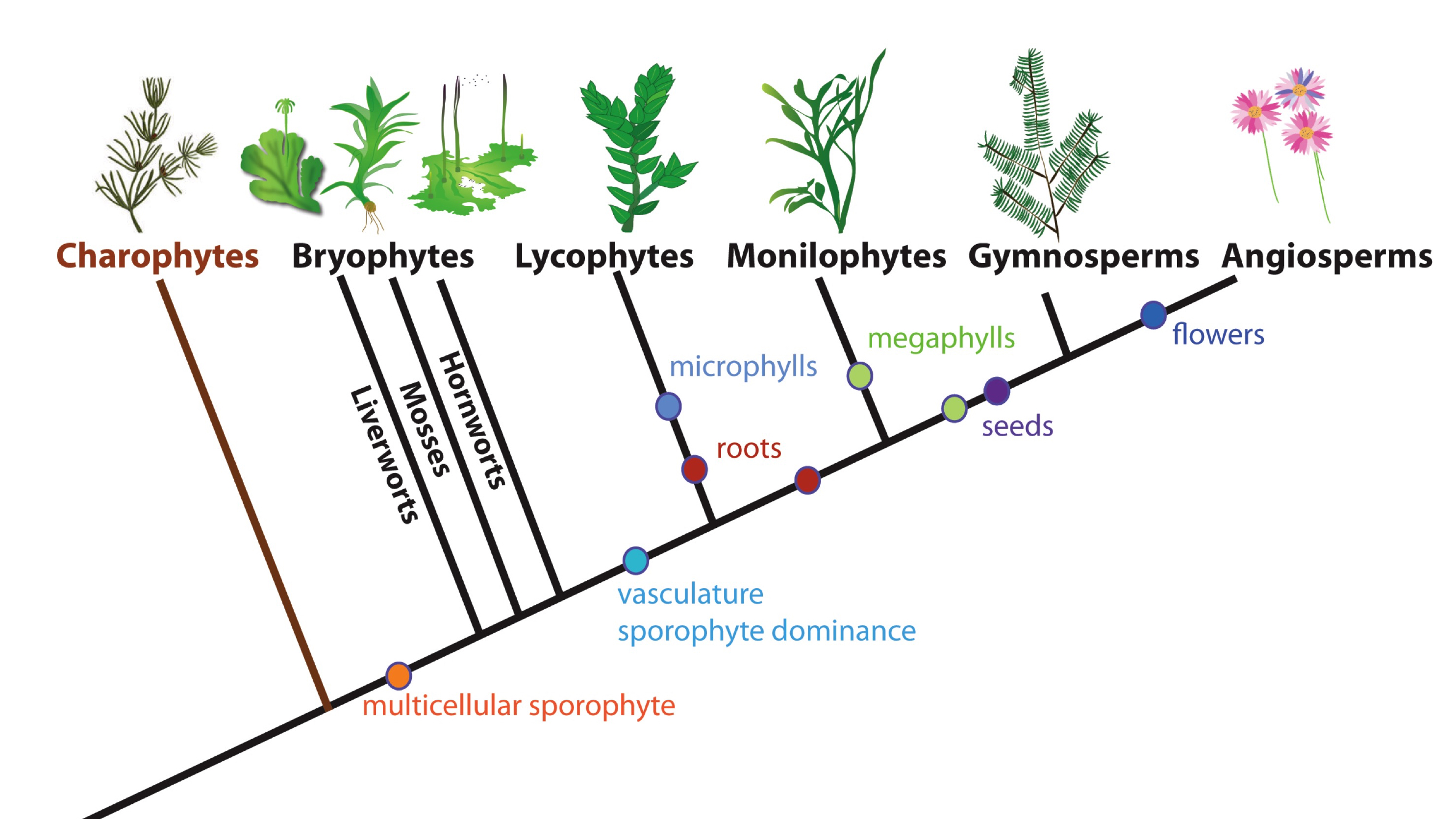 reconstructing plant phylogeny based on morphological A primer to molecular phylogenetic analysis in plants trees reconstructed based on morphological plastid phylogenomics and green plant phylogeny.