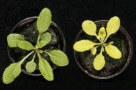 wt_mut_plants